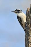 Pic mineur, femelle -- Downy Woodpecker, female