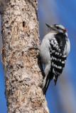Pic mineur, mâle -- Downy Woodpecker, male