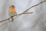 Roselin familier, juvénile -- House Finch, juvenile