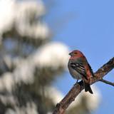 Durbec des sapins, mâle -- Pine Grosbeak, male