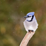 Geai bleu -- Blue Jay