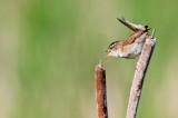 Troglodyte des marais -- Marsh Wren