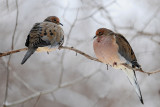 Tourterelle triste -- Mourning Dove