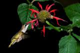 Colibri à gorge rubis -- Ruby-throated Hummingbird