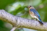 Merlebleu de l'Est -- Eastern Bluebird