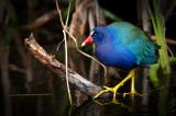 Talève violacé  -- American Purple Gallinule