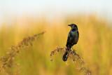 Quiscale des marais, mâle -- Boat-tailed Grackle, male