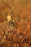 Quiscale des marais, femelle -- Boat-tailed Grackle, female