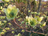 Dogwoods about to bloom