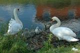 Swans A.jpg
