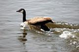 swan a.jpg
