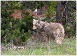 wolf crop web.jpg