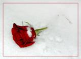 february 20Winter  Rose