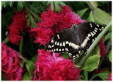 butterfly 9 web.jpg