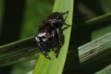 Evarcha acuata (male)