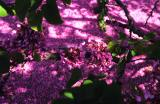 Judastree petals