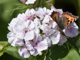 Sweet William and Butterfly