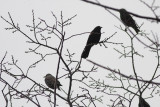 European Starling and Red-winged Blackbirds