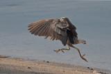 Black-crowned Night-heron ('Auku'u)