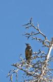 Woodpecker sp.?