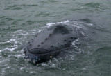 Gallery: Humpback Whale at Texel, the Netherlands - 09-01-2009