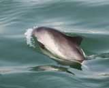 Harbour Porpoise / Bruinvis right next to the boat - Zierikzee IV