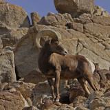 Desert Bighorn Sheep Looking Back