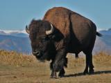 Colorado Bison