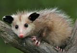Opossum Baby in Tree Fork