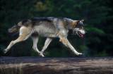 Wolf Airborne