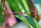 Duckweed Firetails