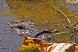 American Alligator & young