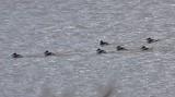 Ruddy Duck flock