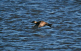 Ruddy Duck