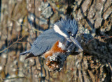 Kingfishers & Woodpeckers