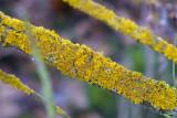 Yellow Lichen (Xanthoria Parietina)