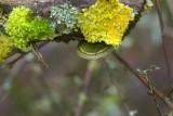 Green Fungus - Yellow Lichen
