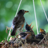 Baby robin in nest