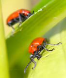 Red Lily leaf beetle (Lilioceris lilii)