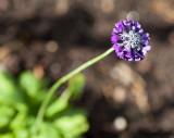 Primrose (Primula capitata mooreana)