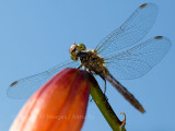 Forget if it's a dragonfly or damselfly.