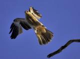 Brown Kite