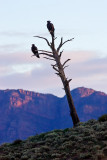 Bunyeroo Valley Wedge Tail Eagles