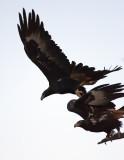 Wedgtail Eagles