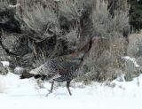 A  wild turkey struts beside the road