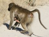 ...and baboons