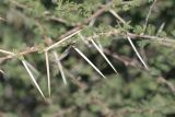 Somehow giraffes manage to eat the leaves of the Acacia tree and leave the thorns.