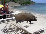 Wilbur the 700 pound pig