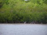 Bird in the mangroves