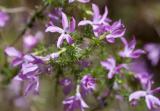 Prickly-Phlox (Leptodactylon californicum)